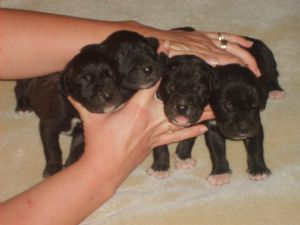 Great Dane Puppies In Tennessee