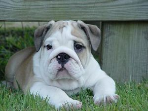English Bulldog Puppies In Michigan
