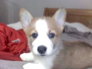 Mini Corgi Puppies For Sale >> Pembroke Welsh Corgi Puppies For Sale