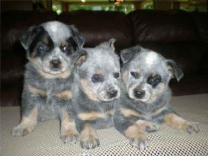 Australian Cattle Dog Puppies Raleigh Nc