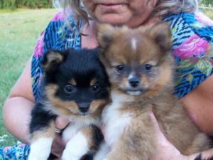 pomeranian breeders michigan pomeranian puppies in michigan 2149