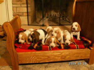 Basset Hound Puppies In Ohio