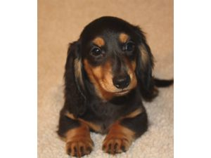 Lens Houston Sale For In Miniature Dachshund Puppies does
