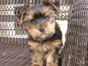 Yorkies For Adoption In Virginia Beach