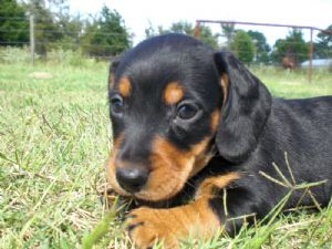 Dachshund Puppies In Oklahoma