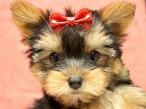 Yorkshire Terrier Puppies In New York