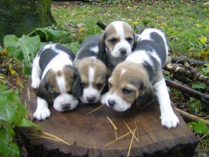 Beagle Puppies In Pennsylvania