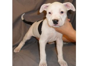 American Pit Bull Terrier Puppies In New Jersey