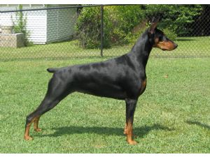 Doberman pinscher puppies kansas