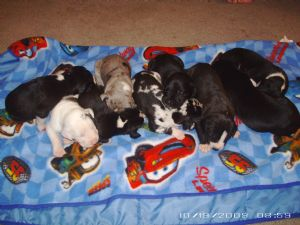 Great Dane Puppies In South Carolina
