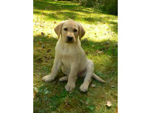 Yellow labrador retriever puppies va