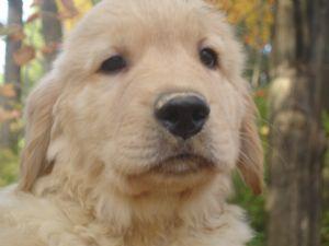 Golden Retriever Puppies In New York