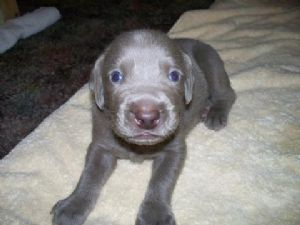 Weimaraner Puppies In Florida