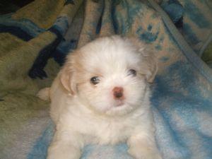 Shih Tzu Puppies In Ohio