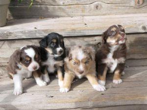 Miniature Australian Shepherd Puppies in California