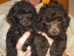 Toy Poodle Puppies In Alaska