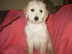Standard Poodle Puppies In Idaho