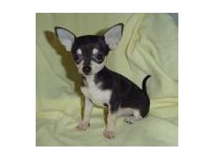 Chihuahua Puppies in Alabama
