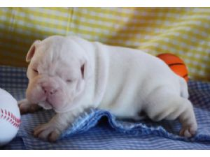 english bulldog puppies az english bulldog puppies in arizona 7367