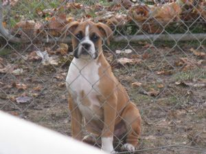 Boxer Puppies in Iowa