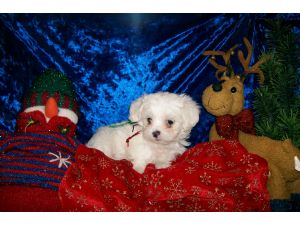 Maltese Puppies in Oklahoma