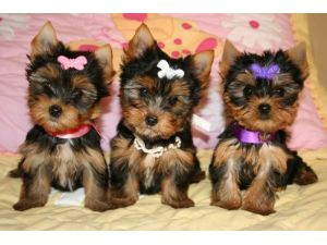 Yorkshire Terrier Puppies In Virginia