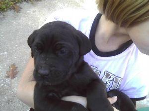 Great Dane Puppies In Missouri