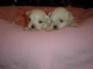 Maltese Puppies In Florida