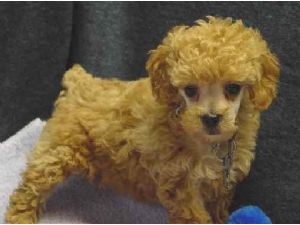 Toy Poodle Puppies In Minnesota