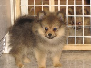 sale Adult pomeranians
