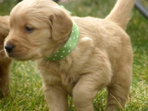 Golden retriever pups for sale in hampshire
