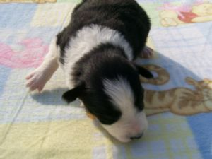 Border Collie Puppies Rescue Missouri