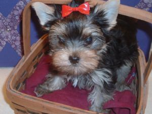 yorkie puppies for sale in philadelphia yorkshire terrier puppies in pennsylvania 4242