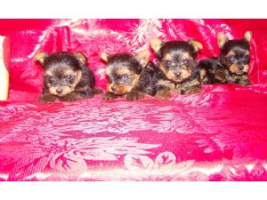 Yorkshire Terrier Puppies In Mississippi