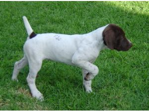German Shorthaired Pointer Puppies In California