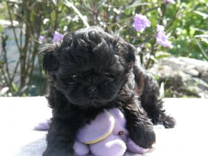 Shih Tzu Puppies In Florida