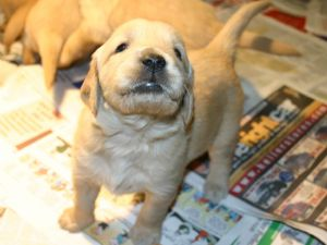Golden retriever puppies illinois