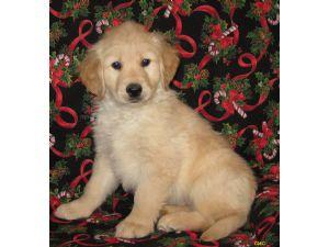Golden Retriever Puppies in Iowa