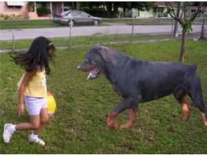 Rottweiler Puppies In Florida