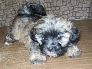 Shih Tzu Puppies In Georgia