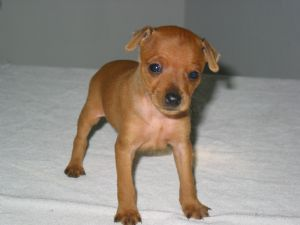 Brown Miniature Pinscher Puppies | www.pixshark.com ...