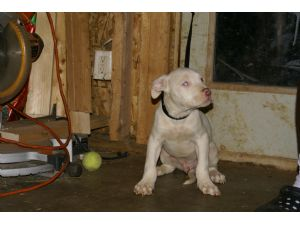 American Pit Bull Terrier Puppies in Kentucky