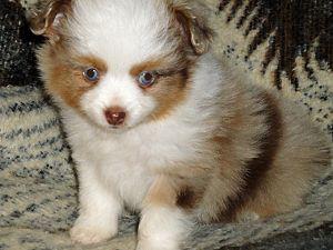 Miniature Australian Shepherd Puppies in Texas