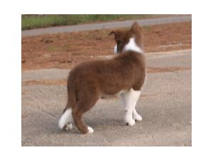 Border Collie Puppies In Texas