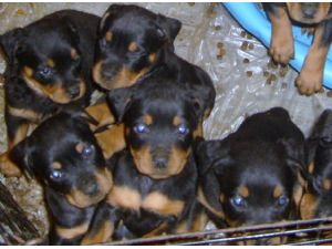 Rottweiler Puppies For Sale With Docked Tails