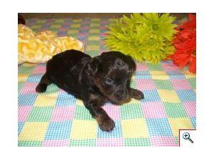 Yorkshire Terrier Puppies in Georgia