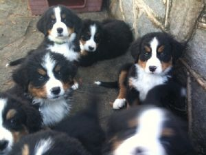 Bernese Mountain Dog Puppies In Georgia