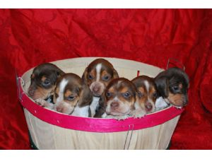 Your new best friend, Beautiful Champion Blood Line Puppes 1856.57 miles.  Breed: Beagle