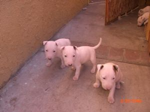 Mini bull terrier puppies for sale california