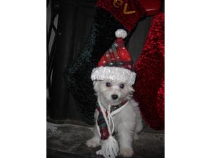 Bichon Frise Puppies in Missouri